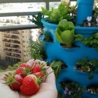 חביתותים - תותים במרפסת